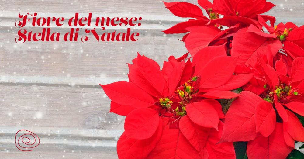 Scopri La Stella Di Natale, Il Fiore Di Dicembre