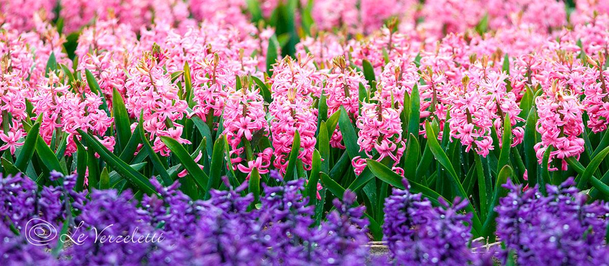 I fiori primaverili per il tuo giardino in citt e campagna for Fiori primaverili da giardino