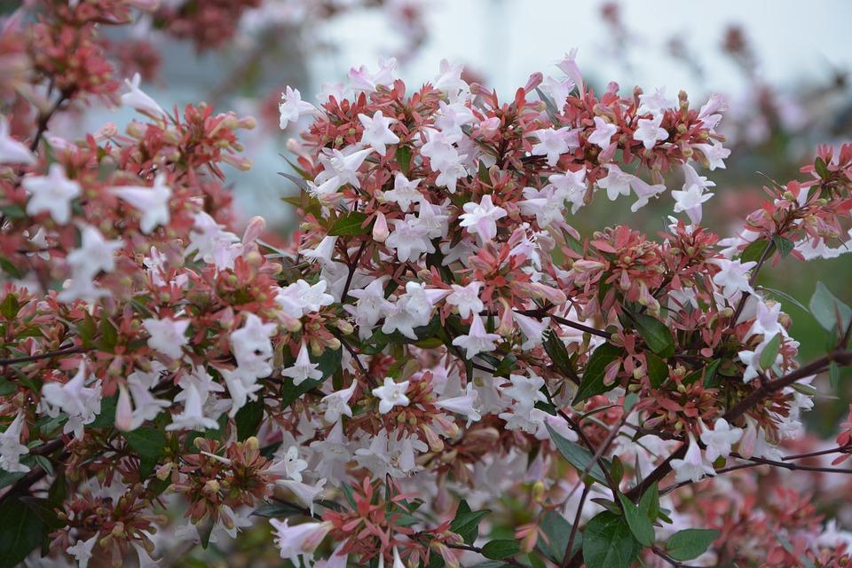 abelia grandiflora piante invernali