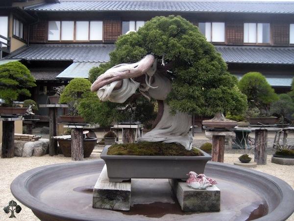 bonsai di 800 anni
