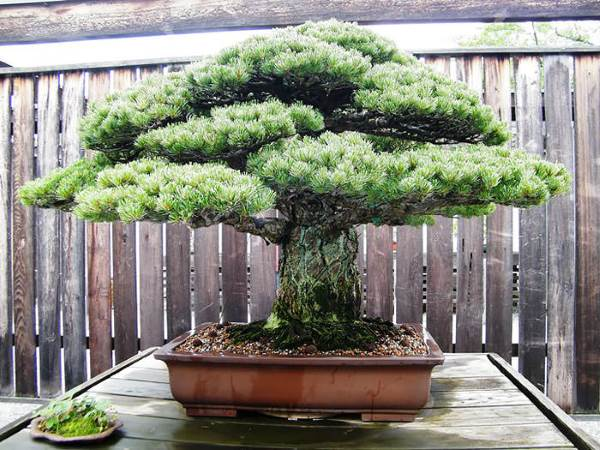 bonsai sopravvissuto a hiroshima