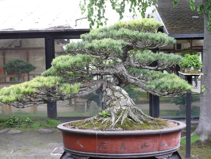 bonsai più costoso